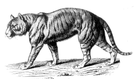 Animal_Tiger